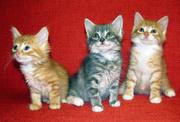 Недорого,  маленькие домашние котята, 150 леев!